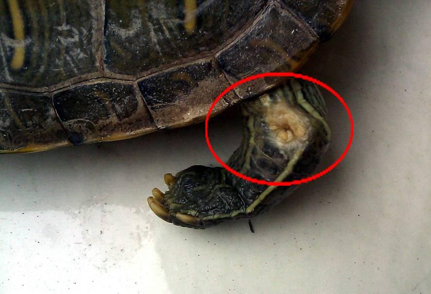 乌龟腐皮怎么治,三招轻松解决-轻博客