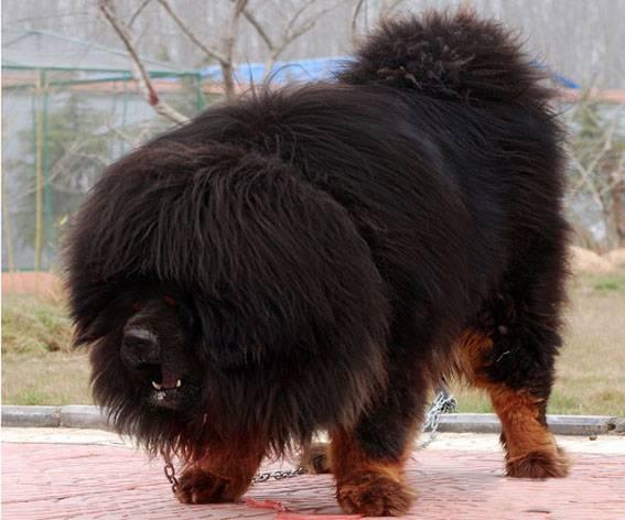 世界上最大的藏獒王,看看到底有多可怕-轻博客
