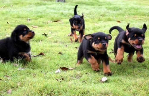 罗威纳幼犬怎么养