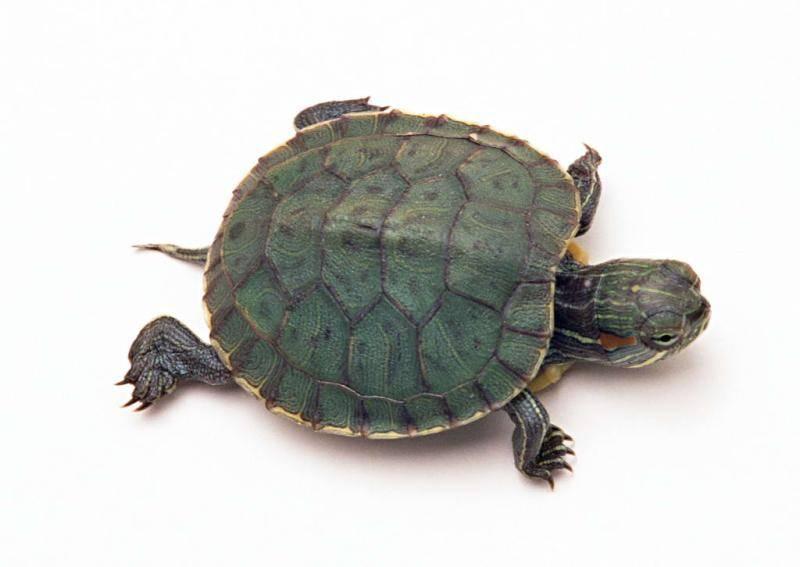 乌龟为什么长寿?看它们的生活习性你就明白了-轻博客