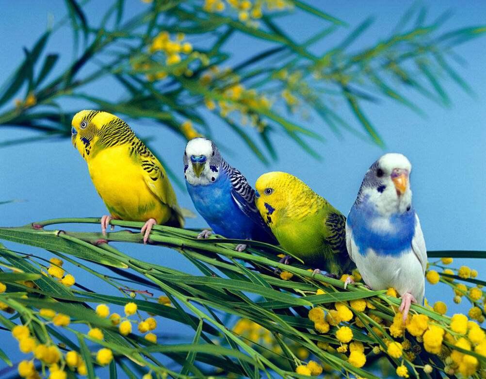 宠物鸟种类