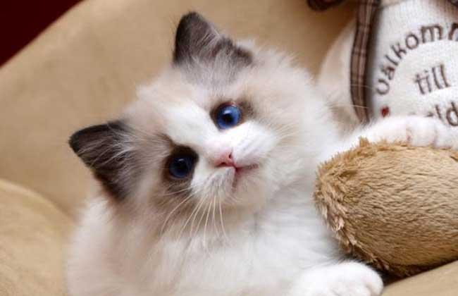 布偶猫怎么养