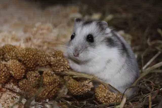 仓鼠能活多久