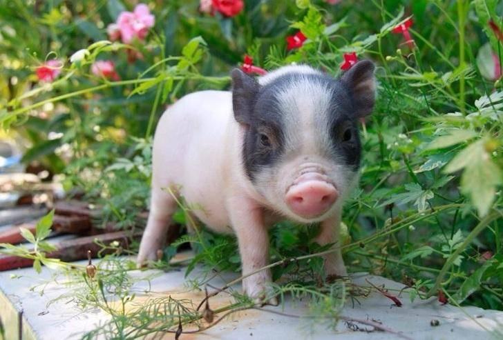 宠物猪能长多大