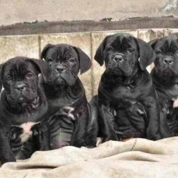 犬瘟初期症状