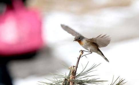 世界上最小的鸟是什么鸟