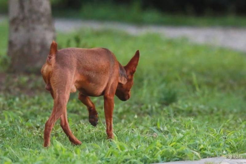 小鹿犬适合什么人养