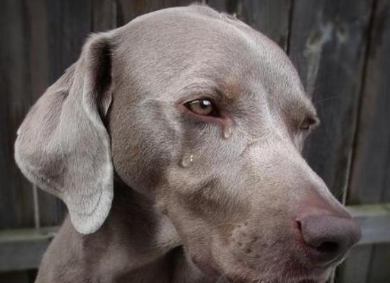 狗狗会哭吗