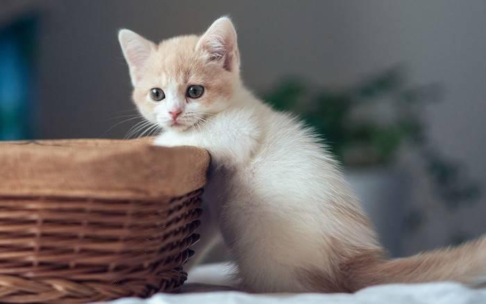 公猫好还是母猫好