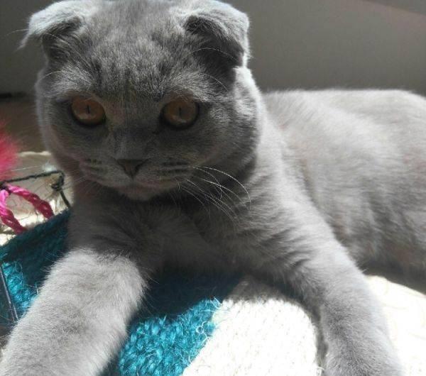 折耳蓝猫为什么不能养