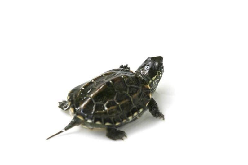 怎样让乌龟冬眠_乌龟怎么分公母?这些地方轻松分辨-我的宠舍