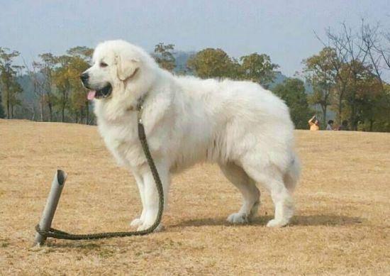 大白熊犬适合家养吗