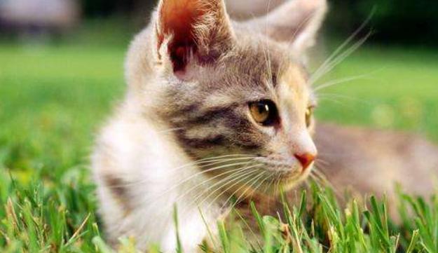 猫什么时候绝育