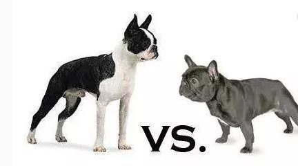 波士顿梗犬与法斗区别