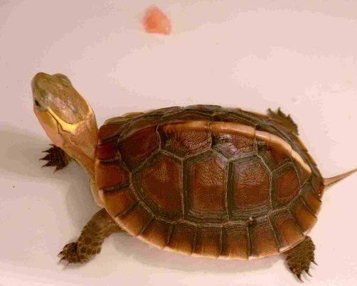 金钱龟吃什么
