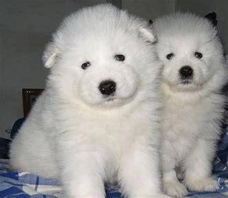 大白熊犬能长多大