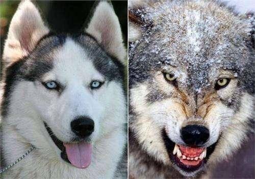 狼和狗的区别