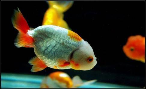 家里养什么鱼招财