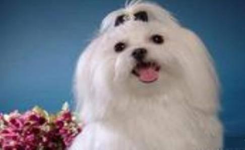 马尔济斯犬好养吗