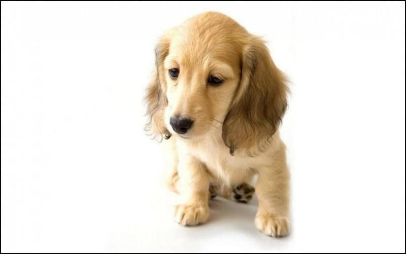 寻回犬怎么训练