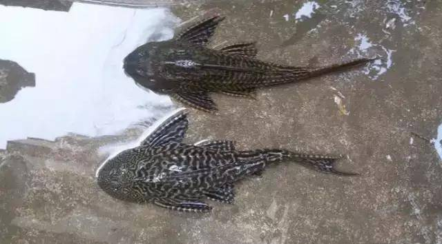 清道夫鱼吃什么