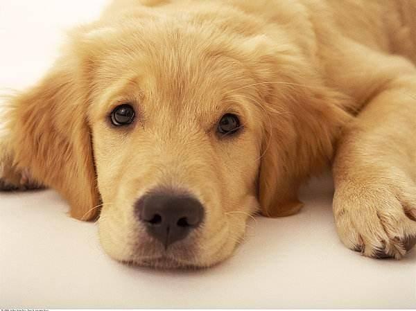 金毛幼犬怎么训练