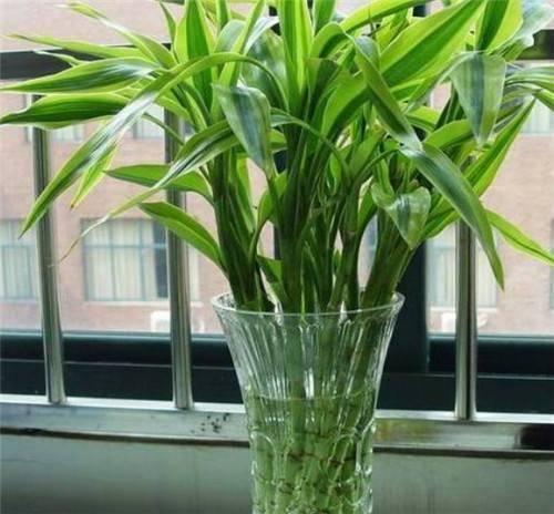 如何养好富贵竹