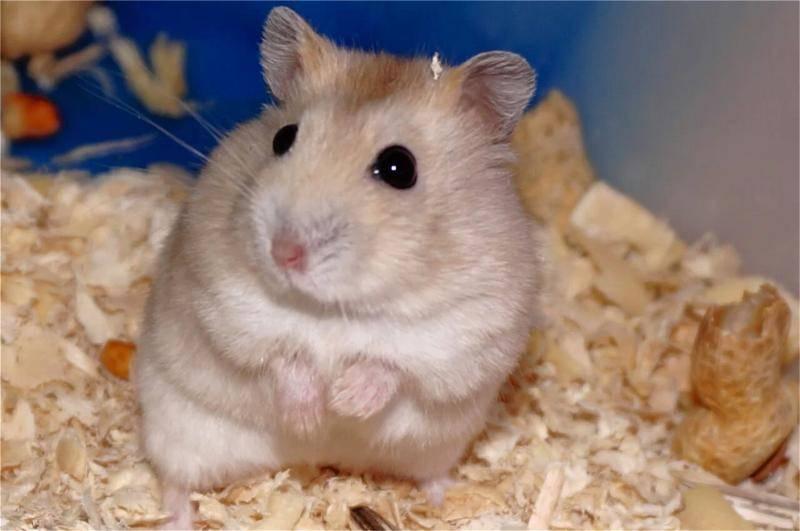 仓鼠怀孕症状