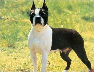 波士顿犬和法斗区别