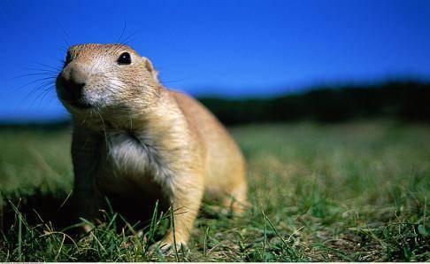 土拨鼠可以当宠物吗