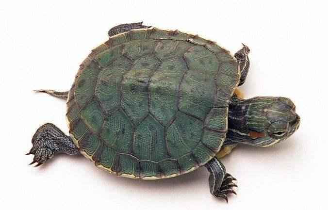 巴西龟的寿命