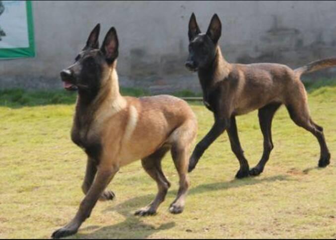 狼青和马犬哪个厉害