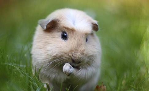 荷兰猪寿命