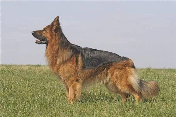 德国牧羊犬种类