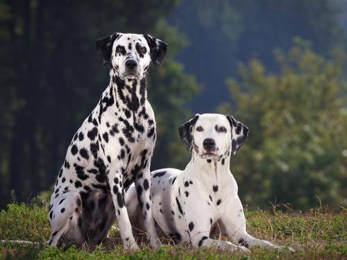 斑点狗为什么禁养