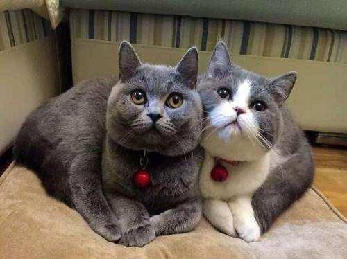 英短蓝猫品相怎么看