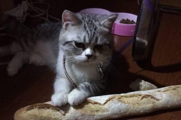 猫能吃面包吗