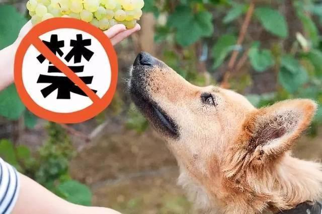 小狗可以吃葡萄吗