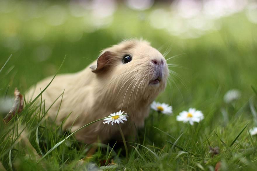 天竺鼠怎么养