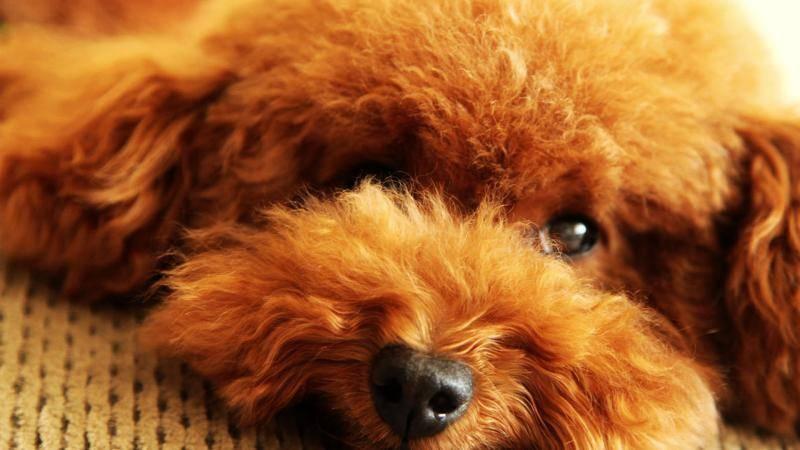 泰迪狗不吃狗粮怎么办