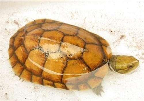 宠物龟的种类