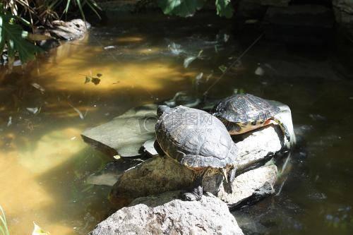 乌龟的寿命有多长?千年乌龟万年鳖-轻博客