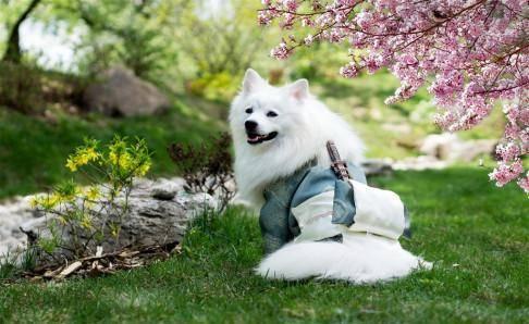 银狐犬为什么很少人养