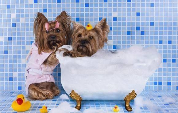 小狗多大可以洗澡