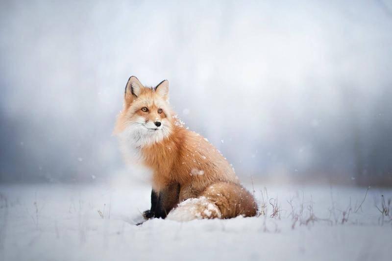 狐狸怎么养