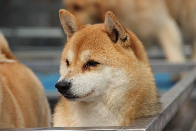 豆柴犬和柴犬区别