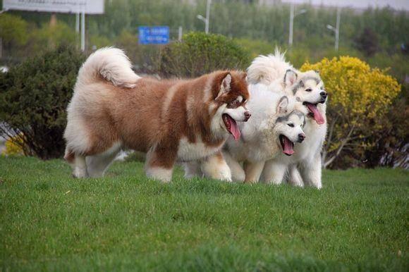 阿拉斯加犬怎么训练大小便