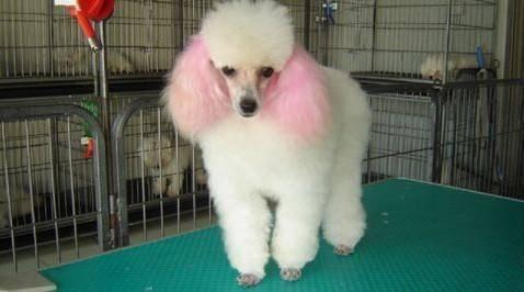 贵宾犬胸前有白毛好吗