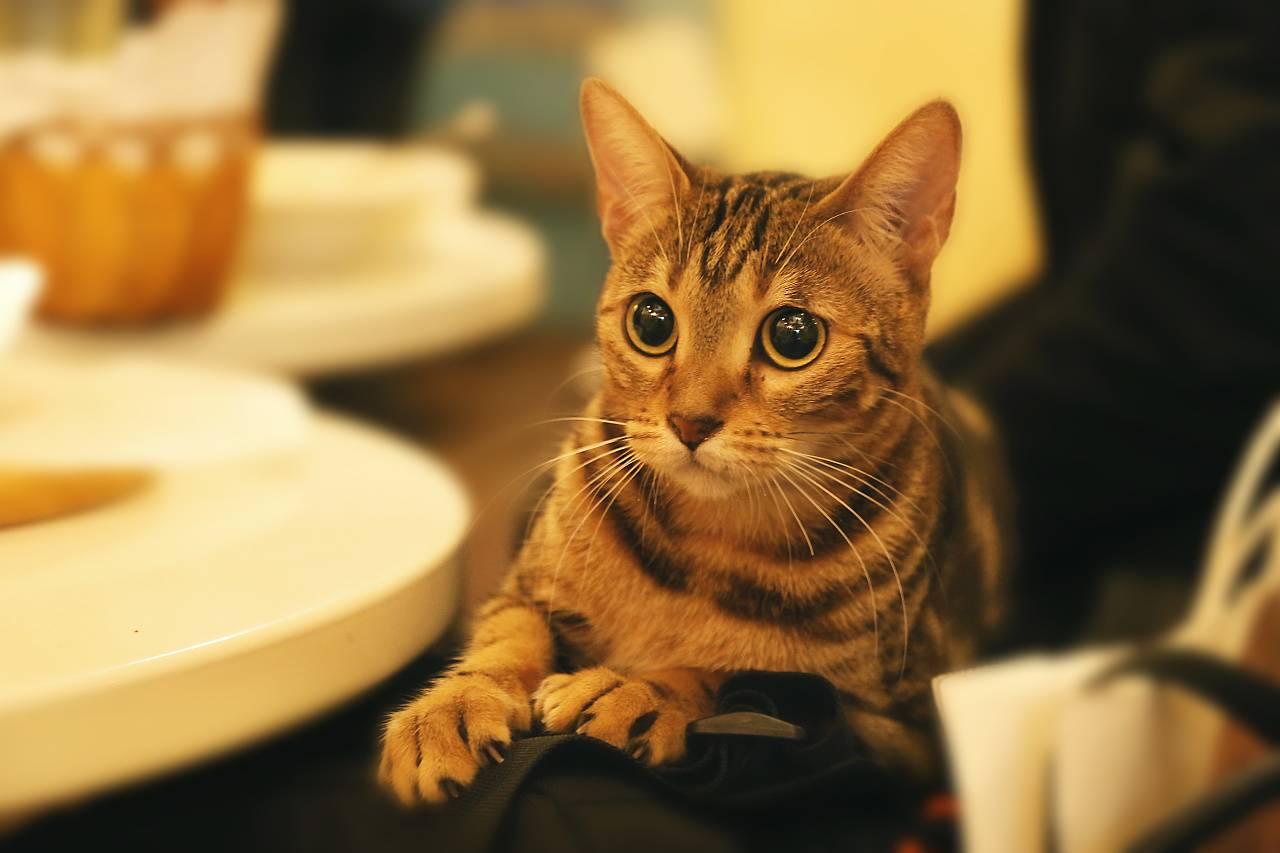 猫能吃巧克力吗