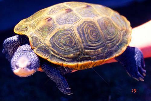 怎样让乌龟冬眠_乌龟冬眠吗,它怎样度过冬眠期-我的宠舍
